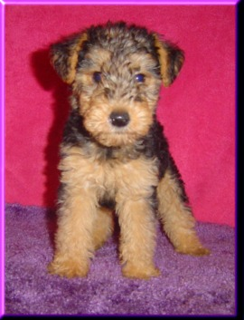 Welsh Terrier Puppies on Carthageagriculture   Welsh Terrrier
