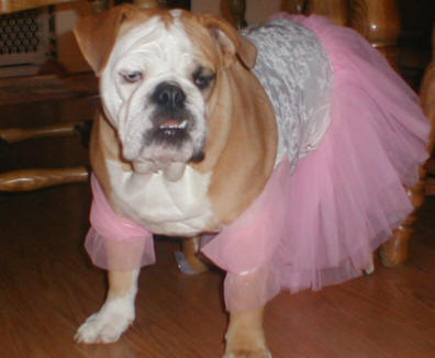 [Image: english%20bulldog%20dress%20up.jpg]