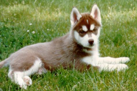 Group - The Siberian Husky would be classified as a working dog  The    Huskies Puppies With Brown Eyes