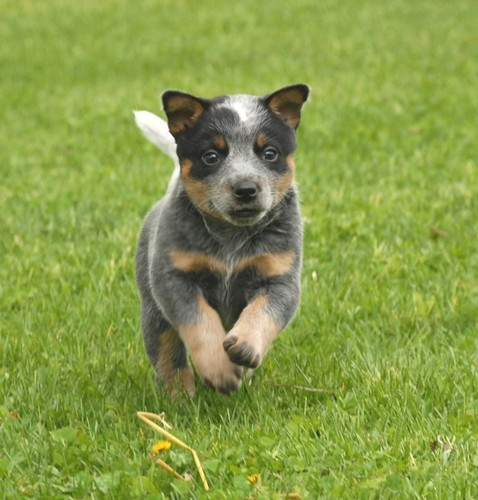 Blue Heeler Puppies in California